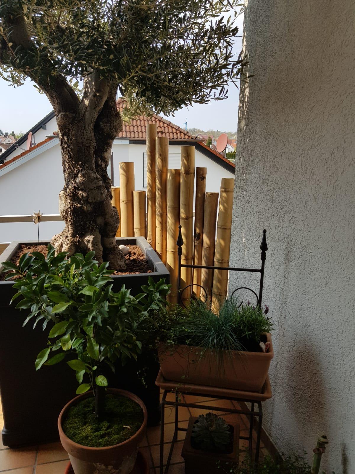 Bambus-Sichtschutz und Olivenbaum.jpg