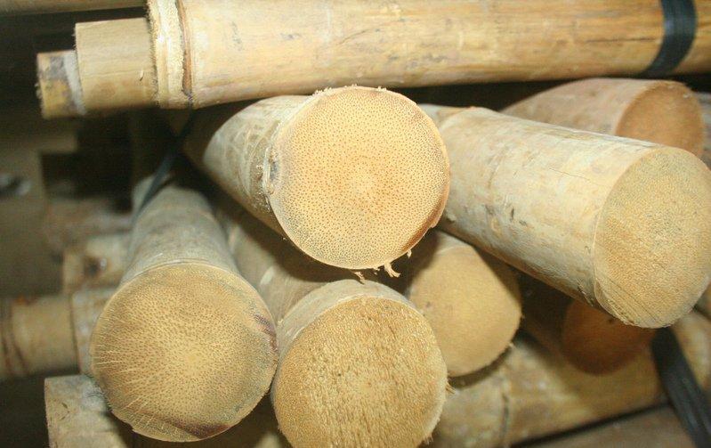 Bambus Tam Vong Stark Robust Www Bambushandel Conbam De